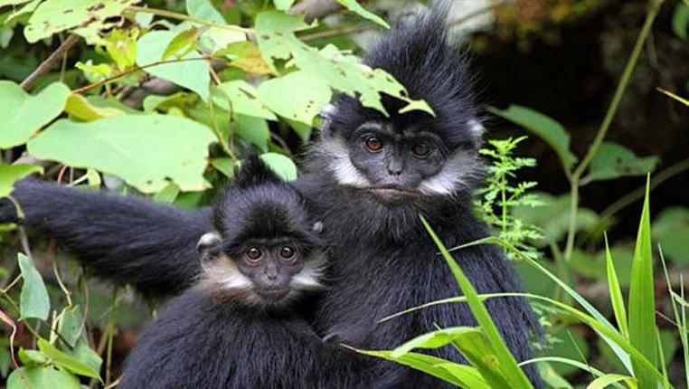 """贵州:麻阳河国家级自然保护区黑叶猴再""""添丁"""""""