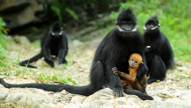 麻阳河保护区:黑叶猴喜添丁