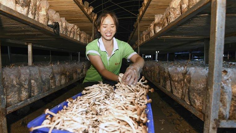 贵州松桃:变废为宝发展食用菌产业