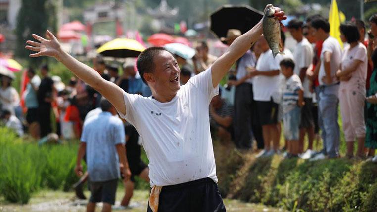 贵州玉屏:田间捉鱼欢